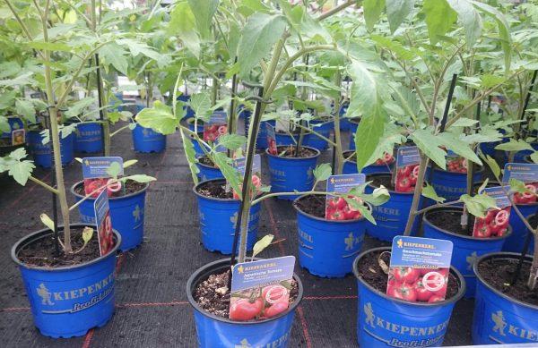 Veredelte Tomaten und Gurken verschiedene Sorten nur 3,99 €