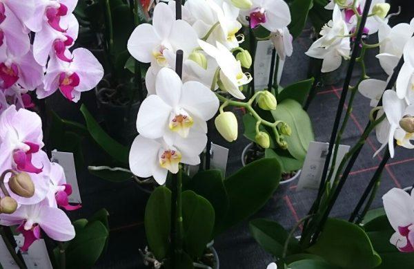 Orchideen 3-Trieber nur 12,99 €