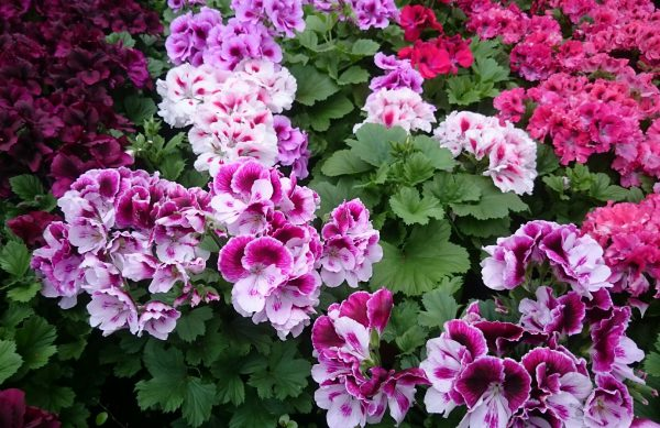 Edelgeranie / Pelargonium grandiflora nur 2,99 €