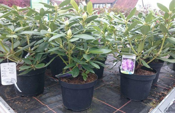 Rhododendron im 4 ltr Topf ab 9,99 €