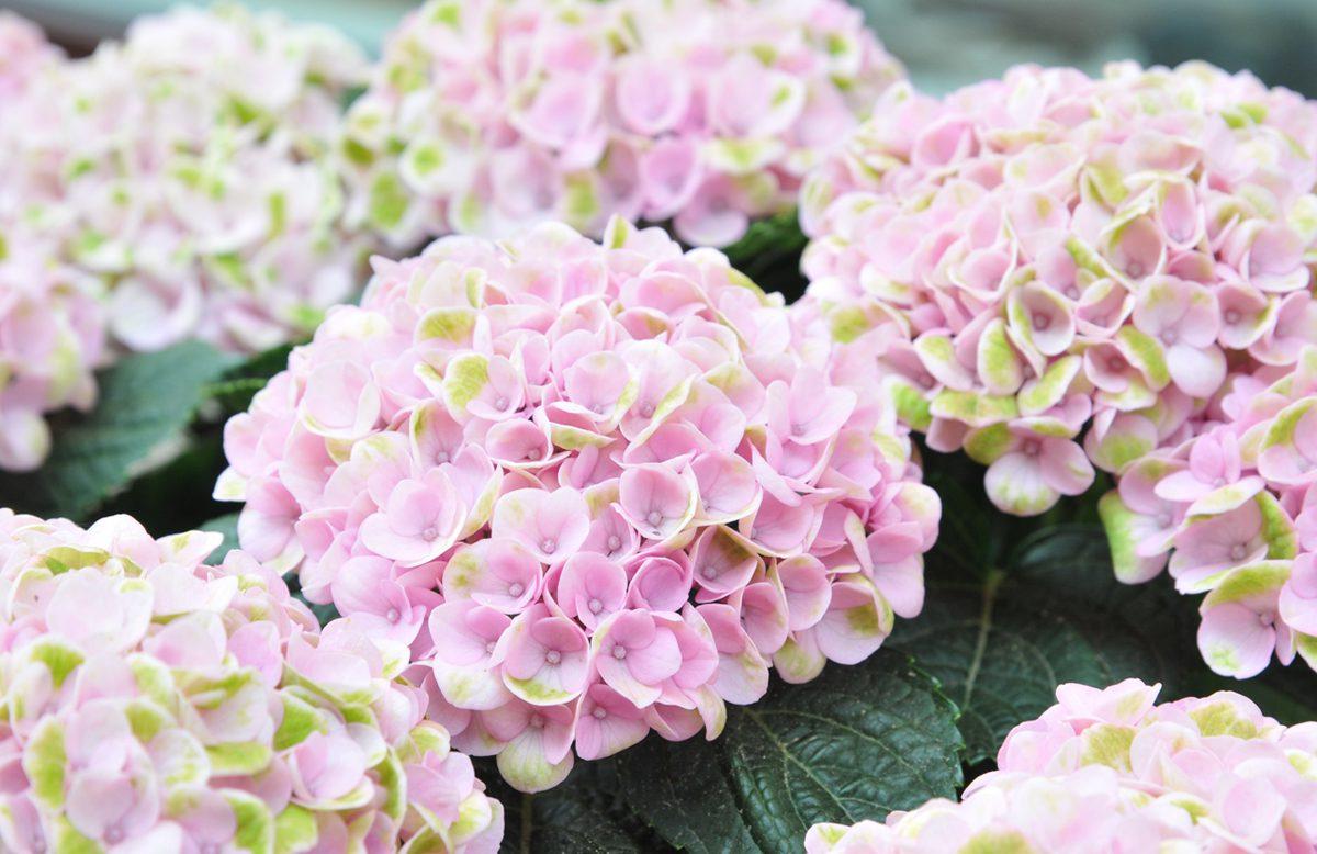 Faszination Garten faszination hortensie traumschön pflegeleicht gartencenter kemper