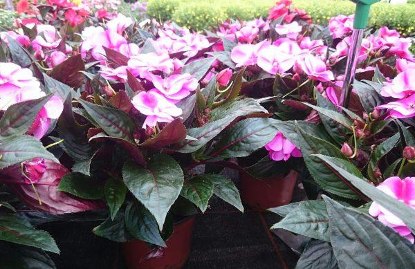 Impatien_Neu_Guinea aus Ihren Gartencenter Kemper